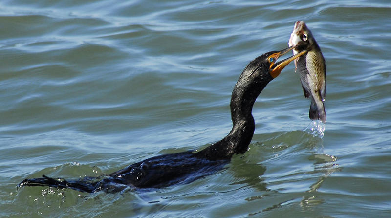 Double-Crested_Cormorant.jpg